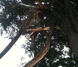 Tree with storm damage